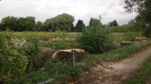 3 Large Poplars Felled Due To Decay