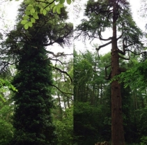 Dead Wood & Ivy Removal on a Large Cedar